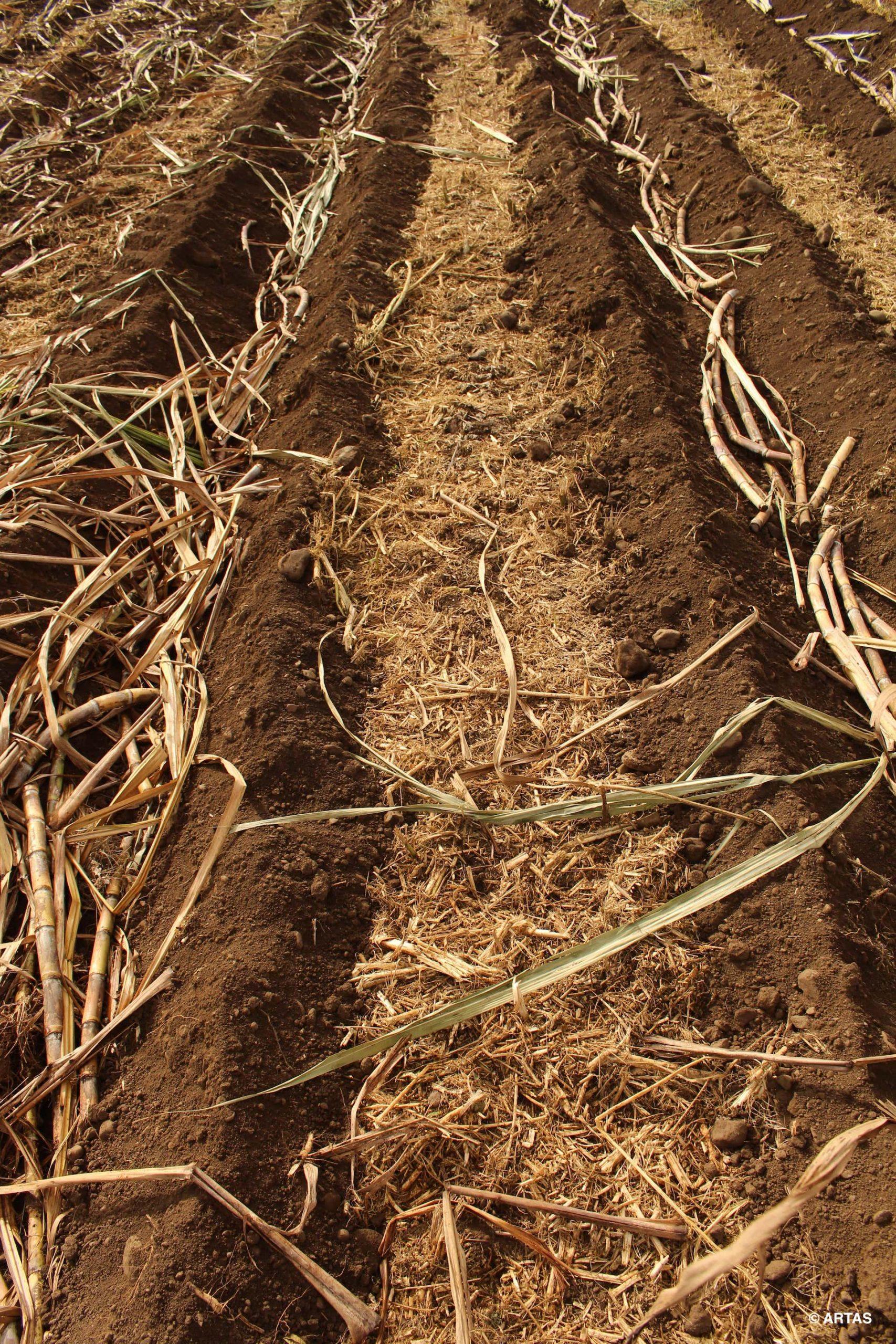 Travail du sol simplifié pour une plantation de canne à sucre
