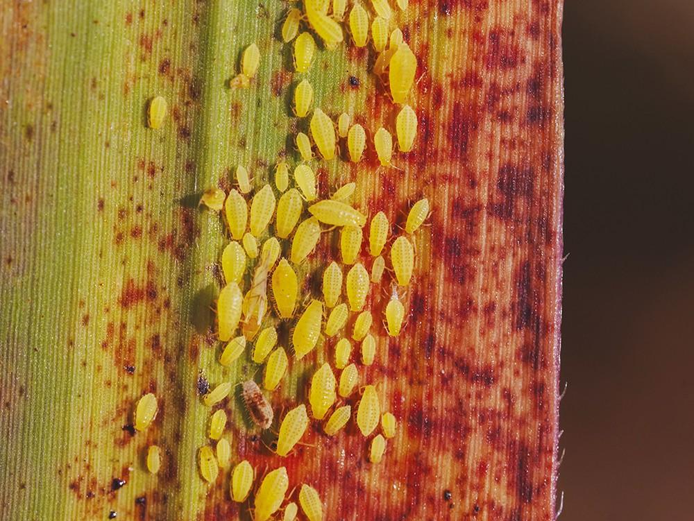 Puceron Sipha flava : un danger potentiel