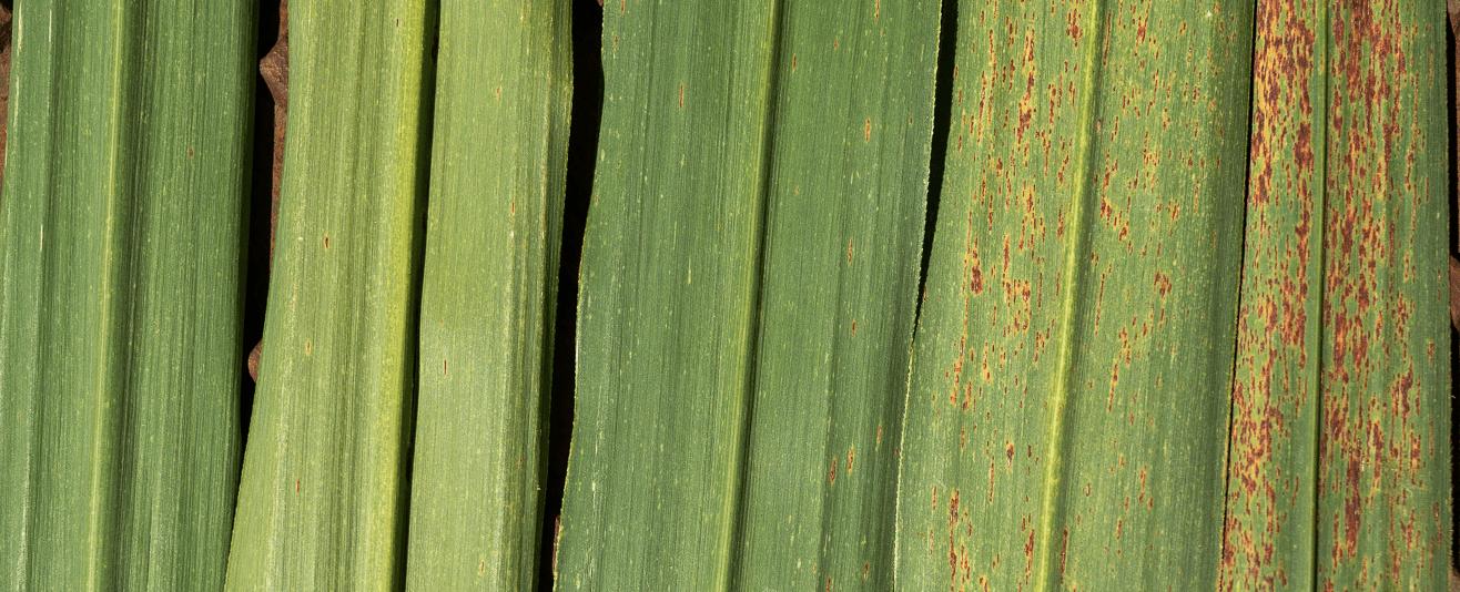 Rouille orangée : la résistance des variétés à l'étude